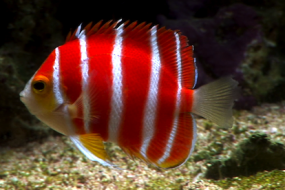 The $30,000 Peppermint Angelfish